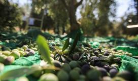 سنة زيتون شلتونية على فلسطين
