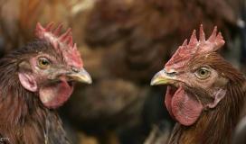 مصر تصدر بيانًا توضيحًا بخصوص انتشار انفلونزا الطيور
